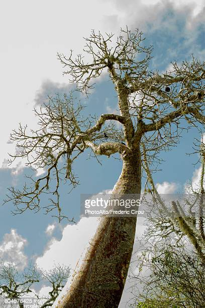 Baobab tree, low angle view