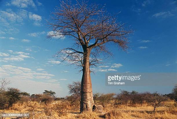 Baobab Tree, Moremi, Botswana