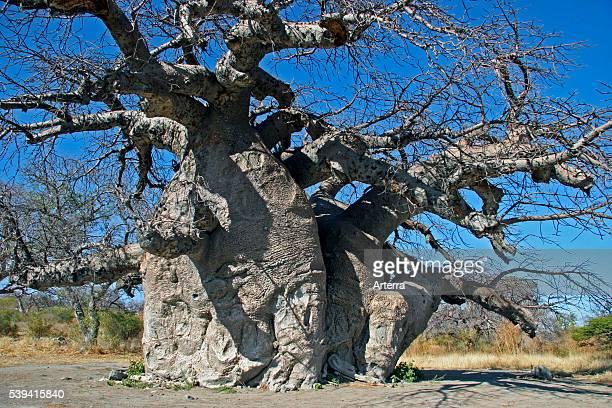 Baobab tree on Kubu Island in the Makgadikgadi Pan area of Botswana Southern Africa