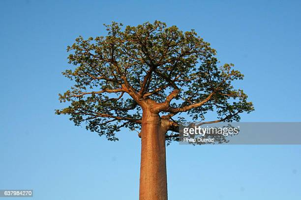 Baobab tree (Adansonia grandidieri)