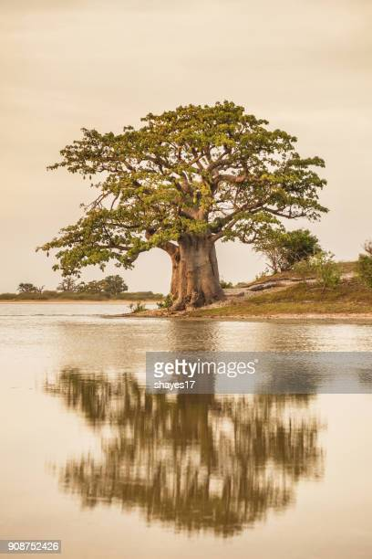 Baobab tree reflection