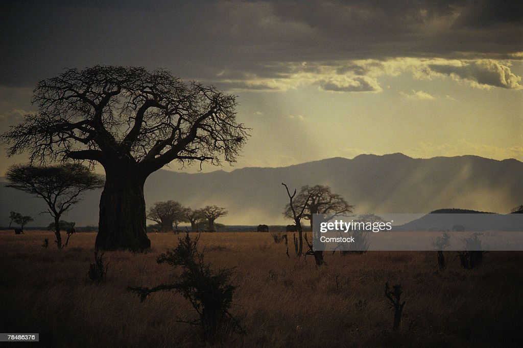 Baobab tree , Tarangire National Park , Tanzania : Stock Photo