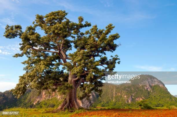 baobab tree, vinales, cuba - valle de vinales stock-fotos und bilder