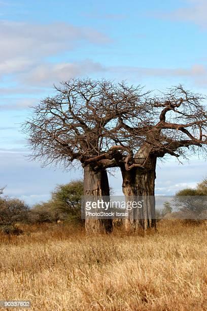 Baobab trees  Adansonia digitata