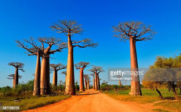 baobab trees -adansonia grandidieri-, avenue of the baobabs, morondava, madagascar - madagascar fotografías e imágenes de stock
