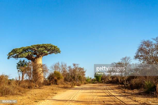 Baobab trees along the track