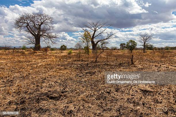 Baobab trees in dry maize field in Malawi
