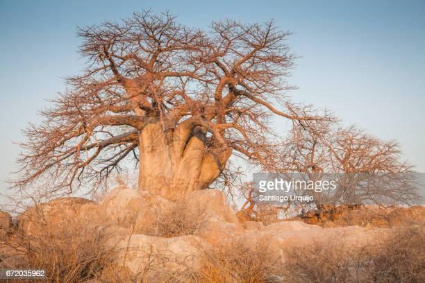 Baobab trees in Kubu Island