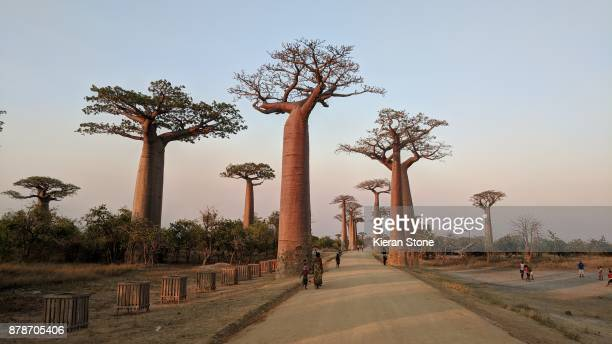baobab trees in madagascar - east africa stock photos and pictures