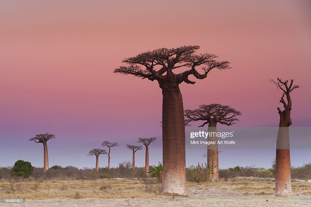 Baobab trees, Madagascar : Stock Photo