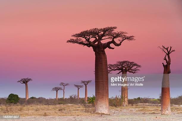 baobab trees, madagascar - madagascar stock photos and pictures