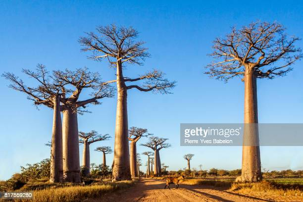baobab trees - pierre yves babelon madagascar stock pictures, royalty-free photos & images