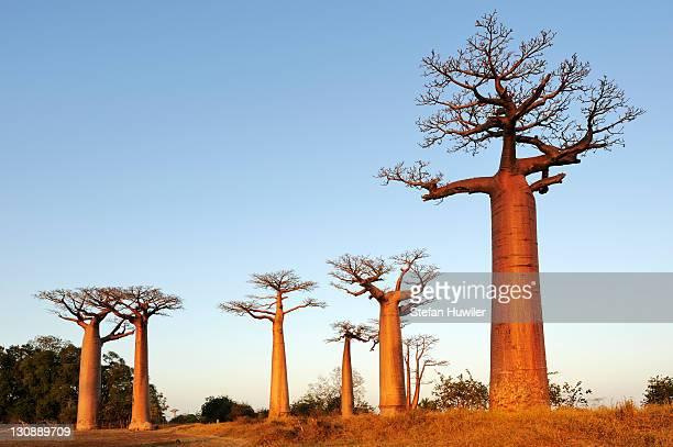Baobab-Alley, Grandidier's Baobab (Adansonia grandidieri) in the morning light, Morondava, Madagascar, Africa