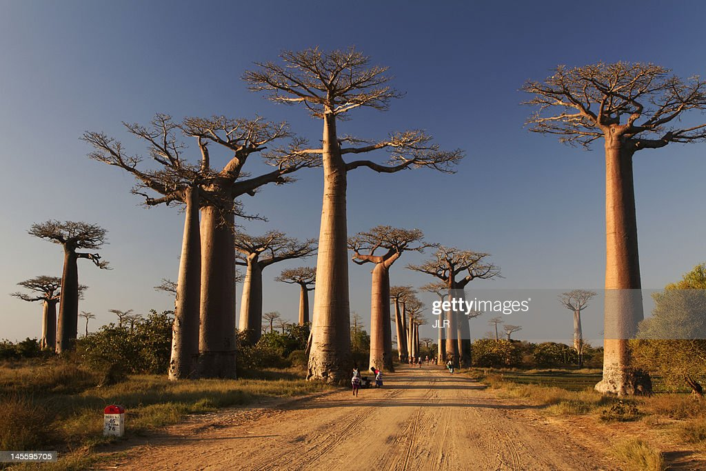 Baobabs alley : Stock Photo