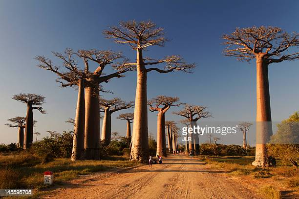 baobabs alley - madagascar stock photos and pictures