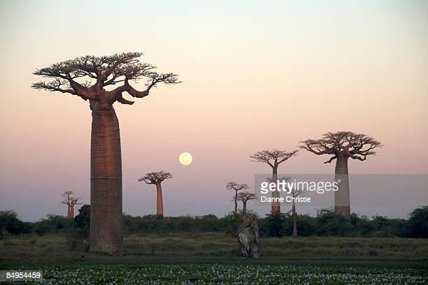 Baobabs (Adansonia grandidieri) at sunset. Avenue du Baobab, near Morondava, Western Madagascar, Madagascar