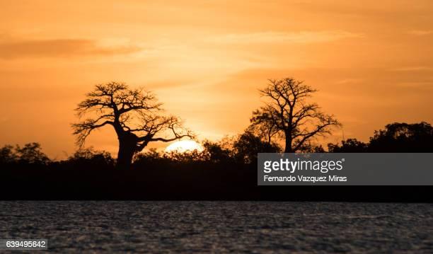 Baobabs at sunset in Palmarin, Senegal
