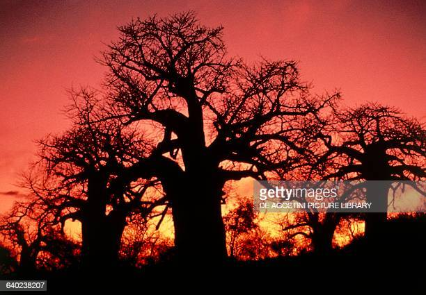 Baobabs in the savannah red sky at sunset South Africa