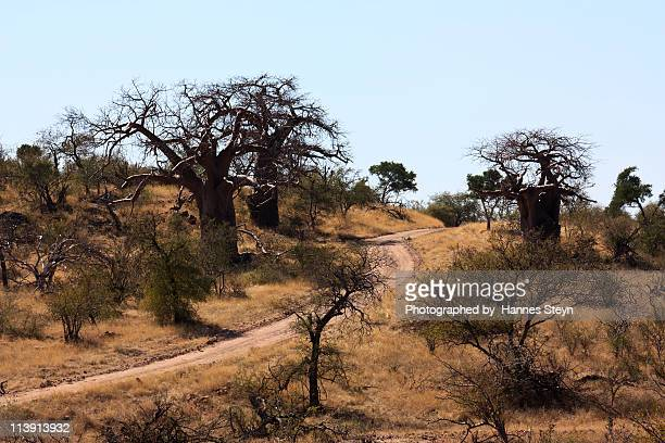 baobabs - mapungubwe (east) - limpopo province stock pictures, royalty-free photos & images