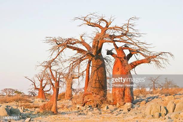 baobabs or adansonia digitata on kubu island (lekubu) in the south west of sowa pan, makgadikgadi pans, botswana, africa - kubus stock-fotos und bilder