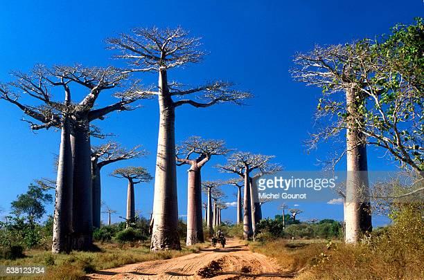 baobabs - マダガスカル ストックフォトと画像