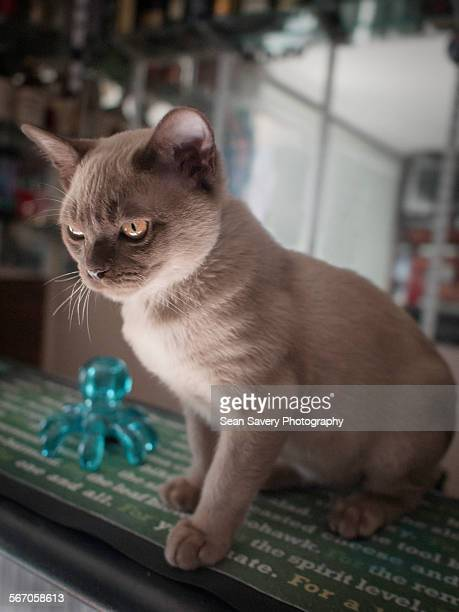 bar tender - burmese cat stock pictures, royalty-free photos & images