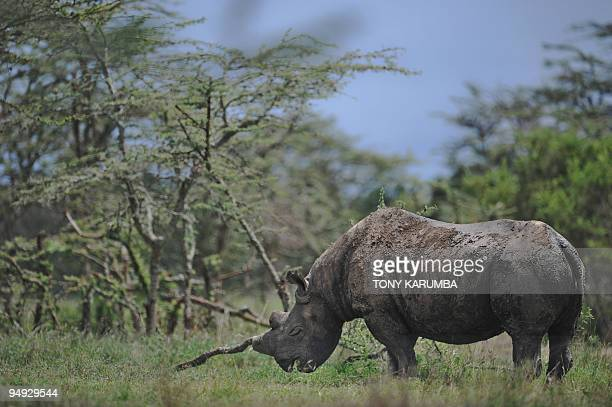 Baraka a black Rhino blinded by disease one of four extremely endangered Northern White Rhinoceros that were shipped to Kenya from the Czech Republic...