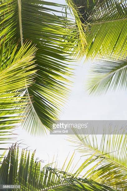 Barbados, Palm leaves against clear sky