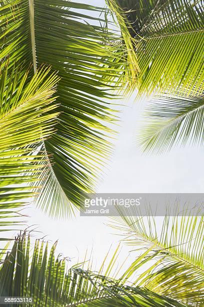 barbados, palm leaves against clear sky - exotismo fotografías e imágenes de stock
