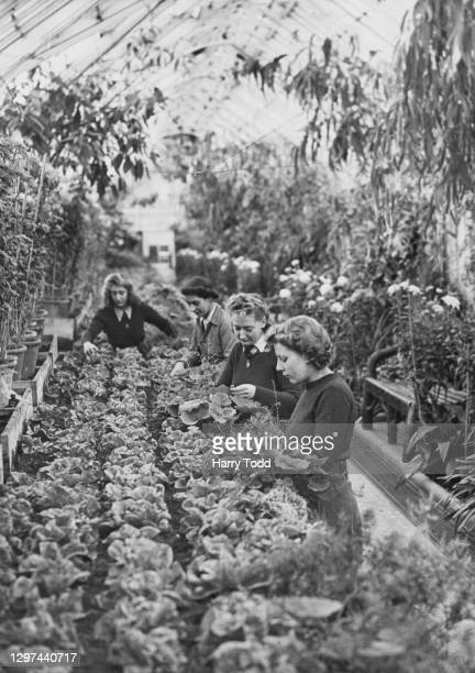Barbara Tennant, Edna Linford, Bunty Tennant and Mary Standaloft, members of the Women's Land Army hand cutting winter lettuce plants on 24th January...