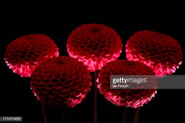 Barbarry Calypso Dahlias are displayed during staging day for the Harrogate Autumn Flower Show on September 12 2019 in Harrogate England The UK's...