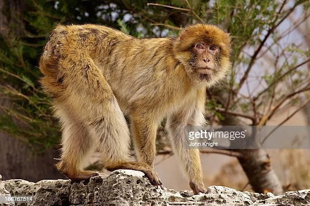 barbary ape - バーバリーマカク ストックフォトと画像