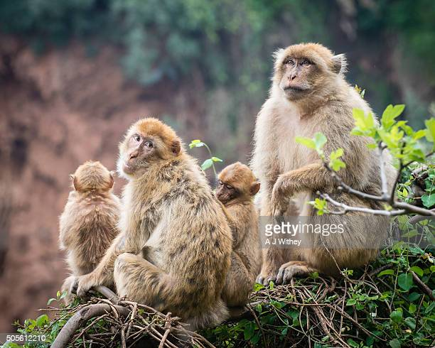 barbary apes in the atlas mountains - バーバリーマカク ストックフォトと画像