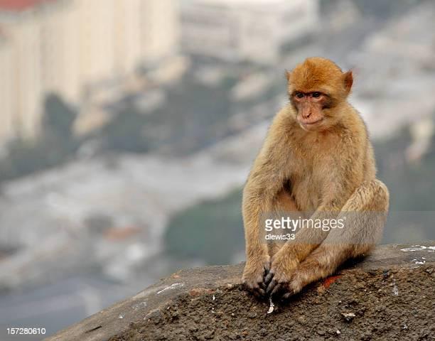 バーバリジブラルタルの猿の入浴 - バーバリーマカク ストックフォトと画像