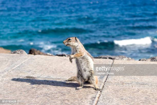 A Barbary Ground Squirrel on the Canary Island of Fuerteventura