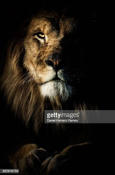barbary lion. - dark panthera stock pictures, royalty-free photos & images
