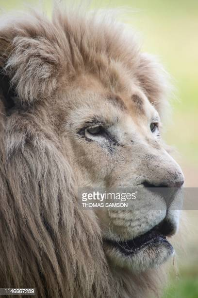 Barbary lion sits in his enclosure on May 23 in the Parc des Felins zoological park in LumignyNesleOrmeaux east of Paris
