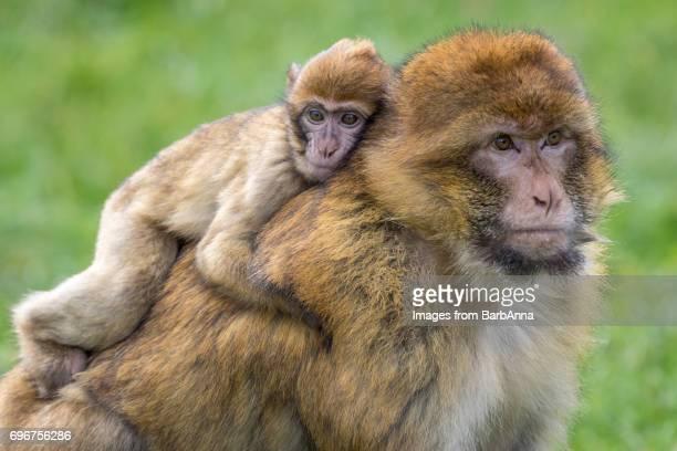 Barbary Macaque - (Macaca sylvanus)  Adult and Young