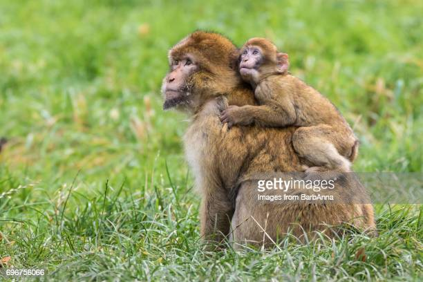 barbary macaque (macaca sylvanus)  adult with young - バーバリーマカク ストックフォトと画像