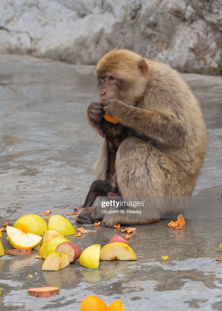 Barbary Macaque Eating : Stock Photo