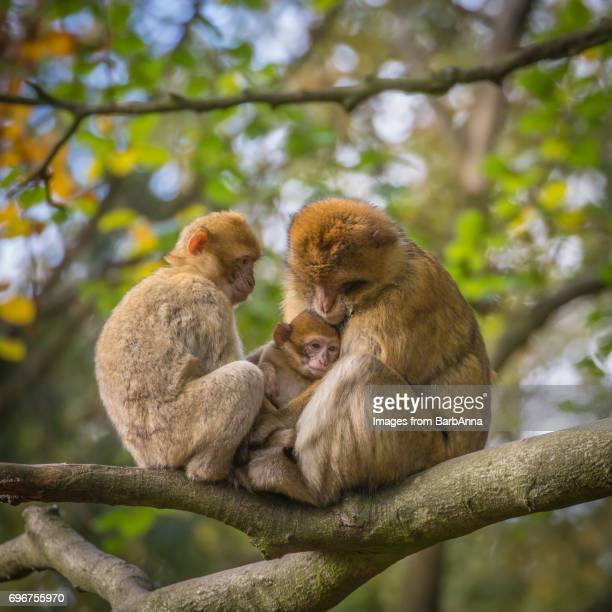 barbary macaque family (macaca sylvanus) sitting in tree - バーバリーマカク ストックフォトと画像