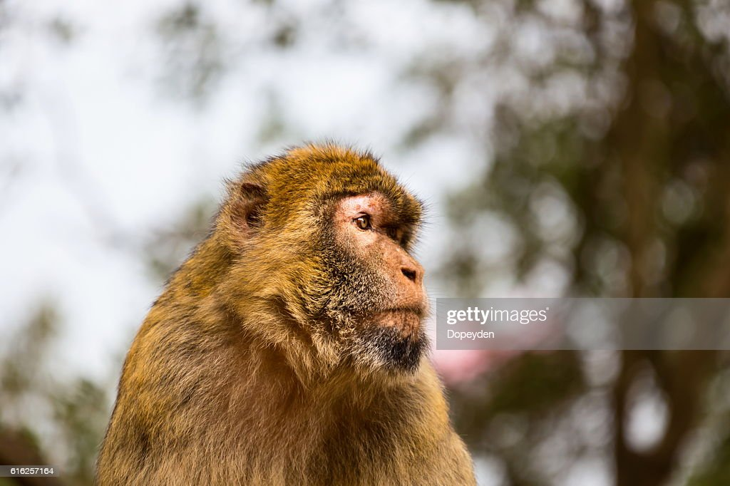 Barbary Macaque, Gibralta. : Stock Photo