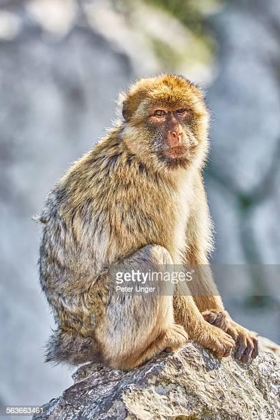 Barbary Macaque (Macaca sylvan us) Gibraltar