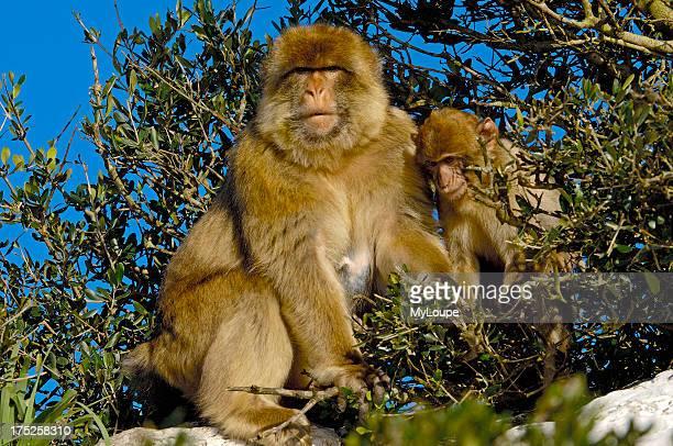 Barbary Macaque . Gibraltar, UK