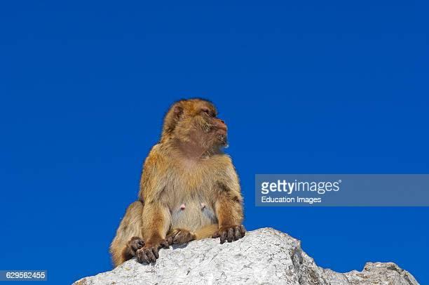 Barbary Macaque . Gibraltar, UK.