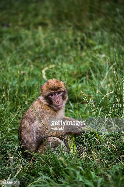 barbary macaque in the grass - バーバリーマカク ストックフォトと画像