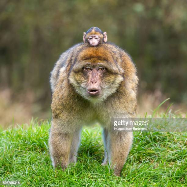 Barbary Macaque Infant (Macaca sylvanus) clinging on to its Mother's back