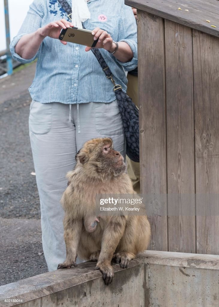 Barbary Macaque is Being Photographed : Stock Photo