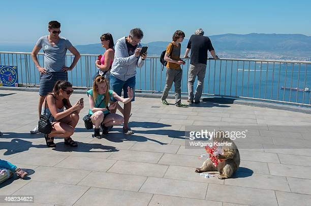 Barbary macaque is eating a bag of potato chips stolen from a tourist on the observation platform at the top of the Rock of Gibraltar which is a...