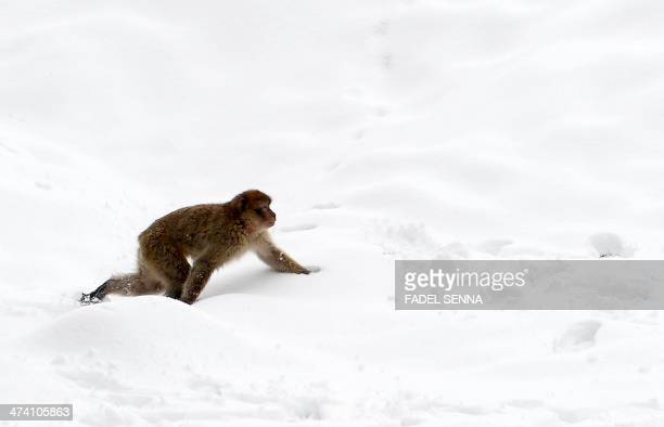 A barbary macaque is seen in a forest near the Moroccan town of Azrou in the middle Atlas mountain chain on February 19 2014 Britain's tiny outpost...